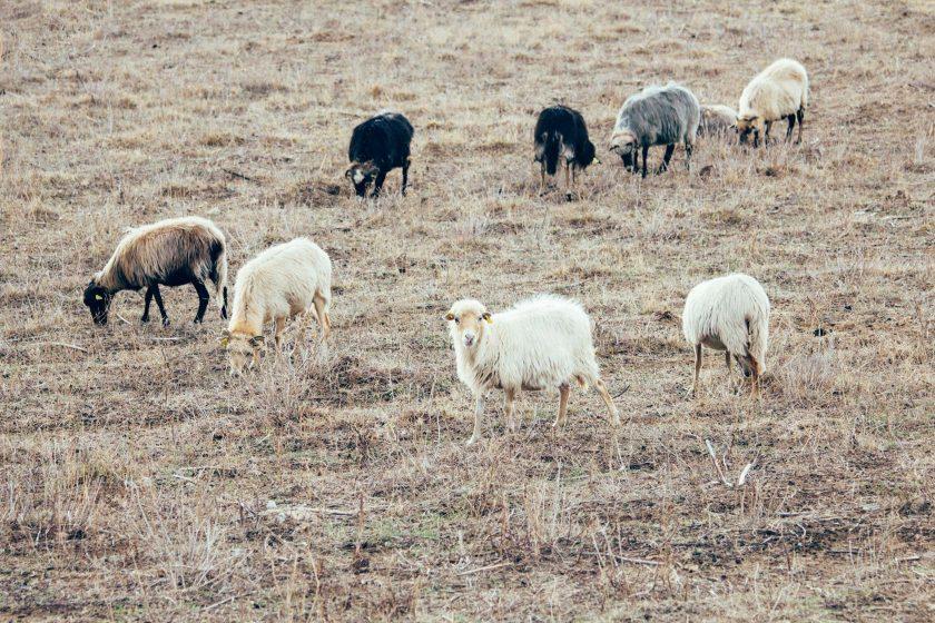 Eine Herde Schafe auf Korsika