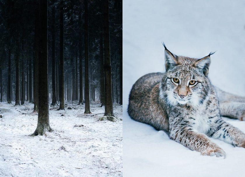 Winter in und um Bielefeld. Links: winterlicher Wald in Winterberg. Rechts: ein junger Luchs im Tierpark Olderdissen.