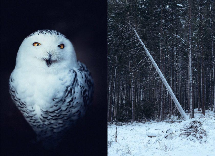 Der Nationalpark Harz ist ein tolles Naturschutzgebiet im nördlichen Mitteldeutschland. Link: eine Schnee-Eule, rechts: ein umgestürzter Baum nach Sturm Friederike.