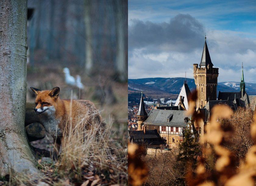 Wernigerode: Wildpark mit Rotfüchsen und rechts das Schloss Wernigerode.